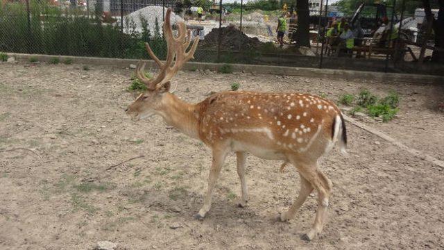 Сърна в Зоокът Павликени.