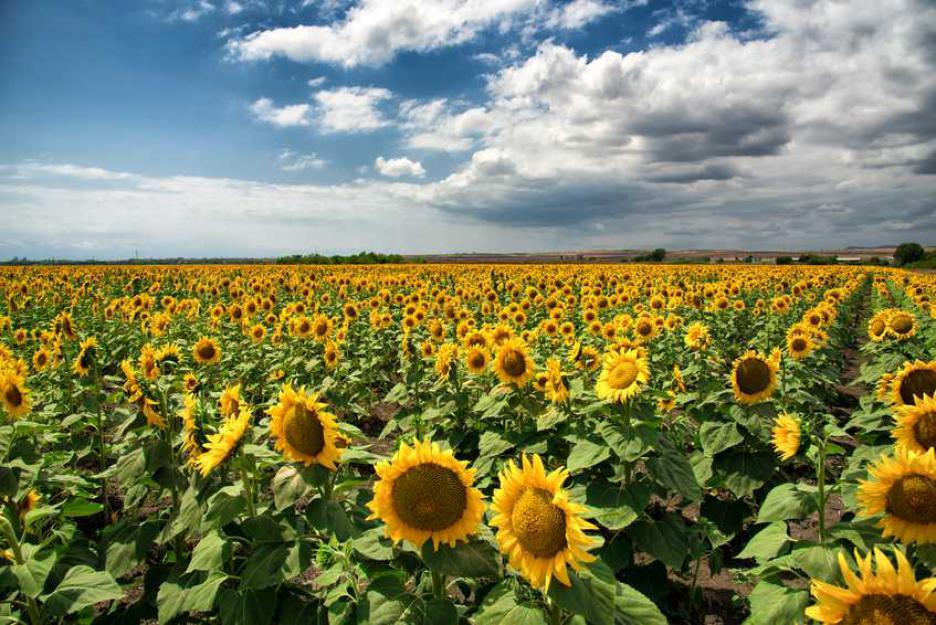 Слънчогледовите поля на България